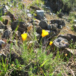 Wildflowers are starting to bloom! Stile Ranch Trail, Santa Teresa County Park