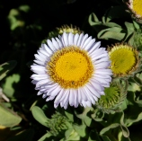 Seaside Daisy/Old Cove Landing Trail/Wilder Ranch SP/Hike No 12