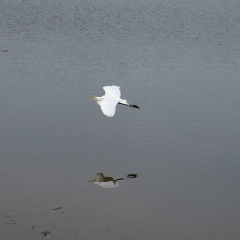 Snowy Egret over Lake Almaden Hike No 13