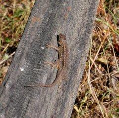 Western Fence Lizard - Hike No 17