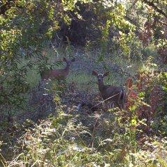 Black Tailed Deer watch me hike past - Hike No 17
