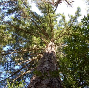 Many pine trees on the Stevens Creek Nature Trail