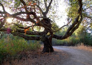 Native Oak on Summit Trail early evening Hike No 18