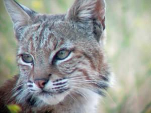 20130809 Bobcat at Grant SCCO Park