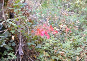 Poison Oak on both sides of the Coyote Trail Hike 19