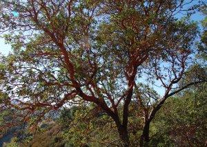 Manazanita Tree Wood Road Trail Hike No 21