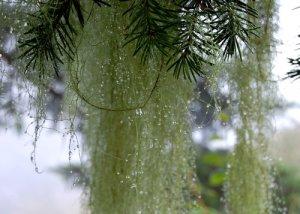Water dripping for Douglass Fir Hike No 22