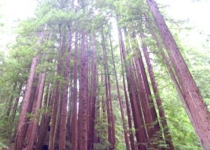 Dense stand of Redwoods growing through the clouds!