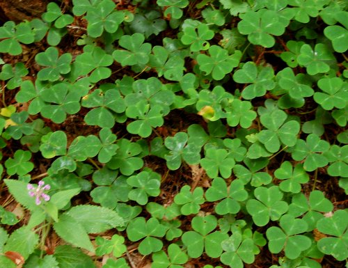 Redwood Sorrel along the trail Hike No 22