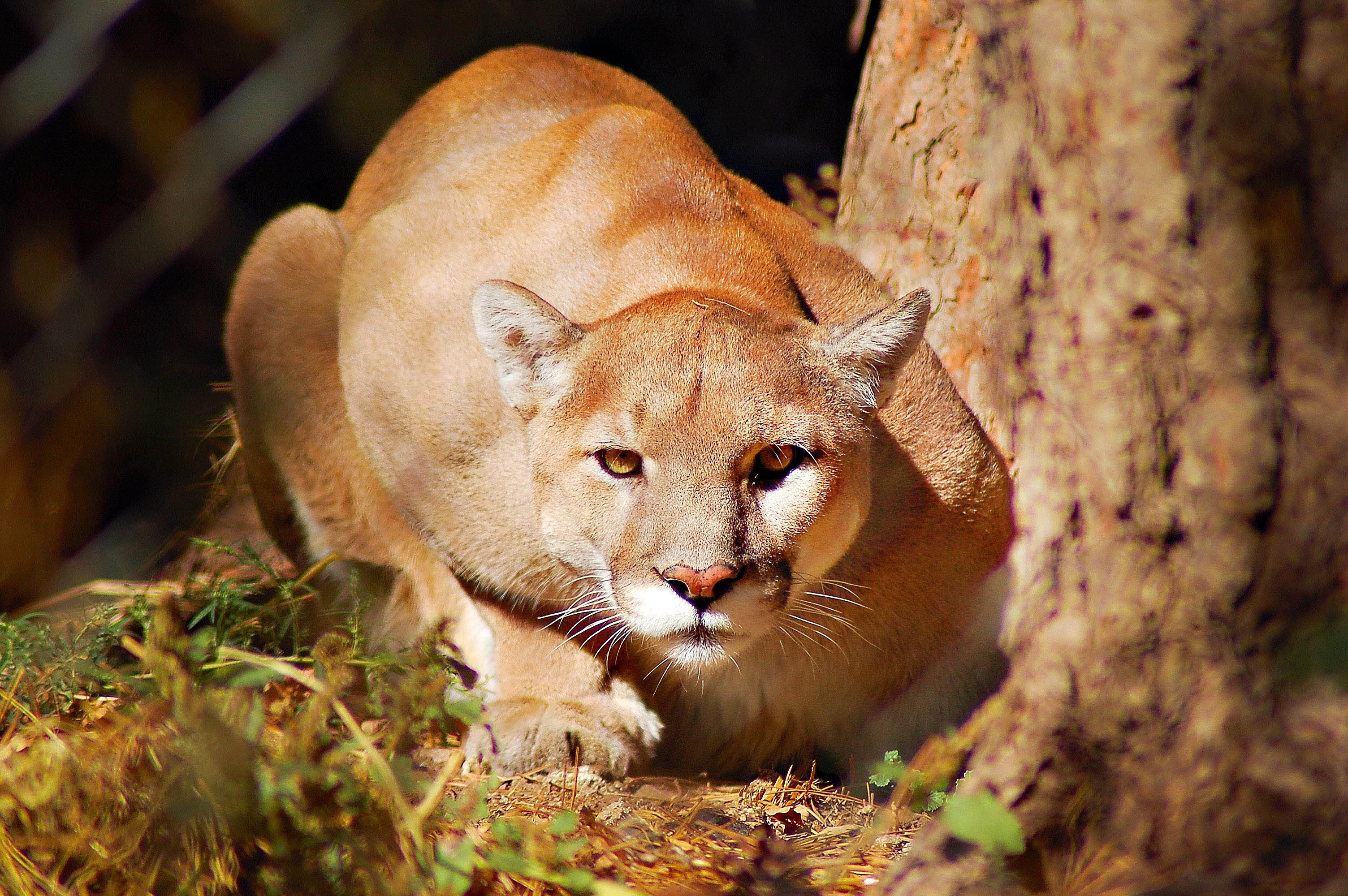 zionhill cougar women On wednesday, june 28, a five-member panel discussed the possibility of bringing, or rewilding, a permanent population of mountain lions, or cougars, to the east.